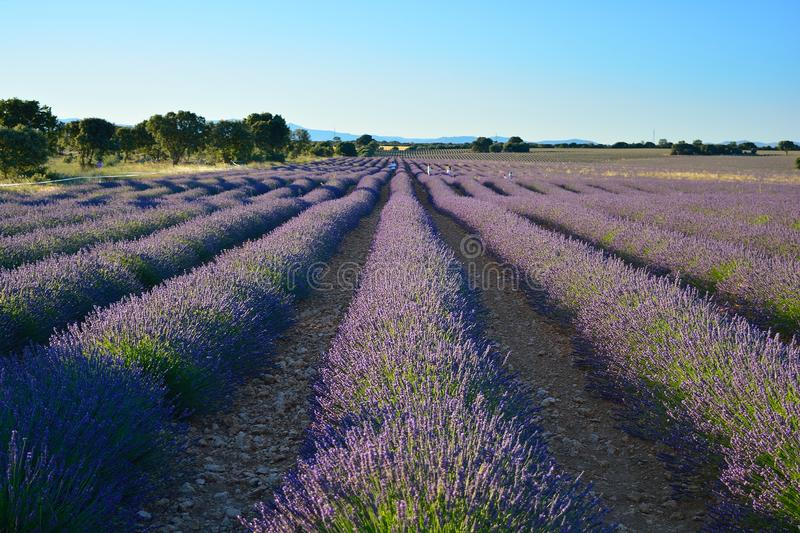 Lawendy pole, lato krajobraz blisko Brihuega, Guadalajara, Hiszpania obrazy stock