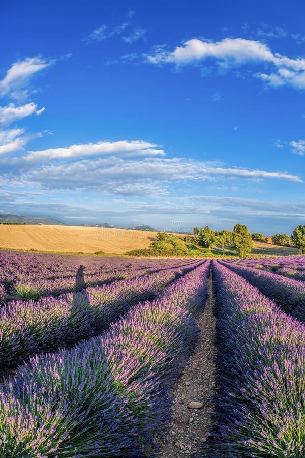 Lawendy pole przeciw niebieskiemu niebu w Provence, Francja zdjęcie stock