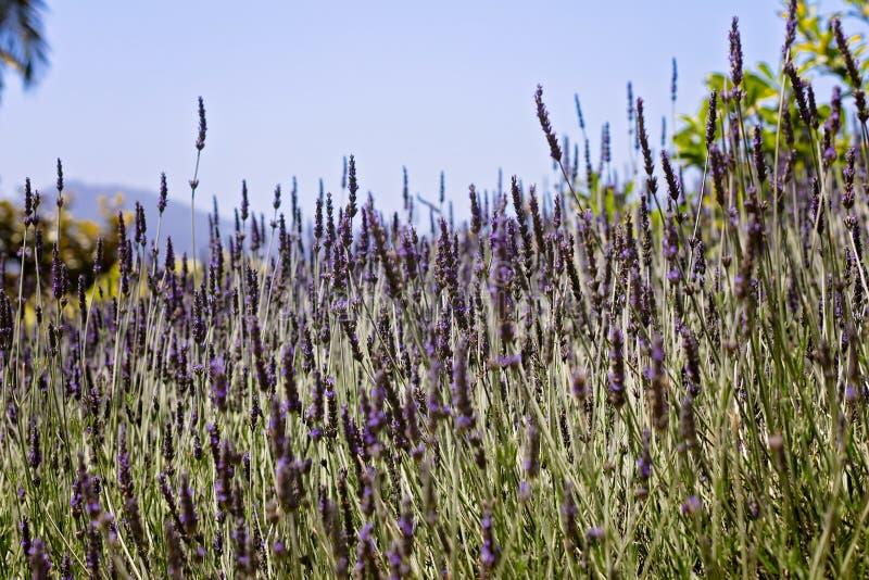 Lawendy pole w kwiacie w Północnym Kalifornia obrazy stock