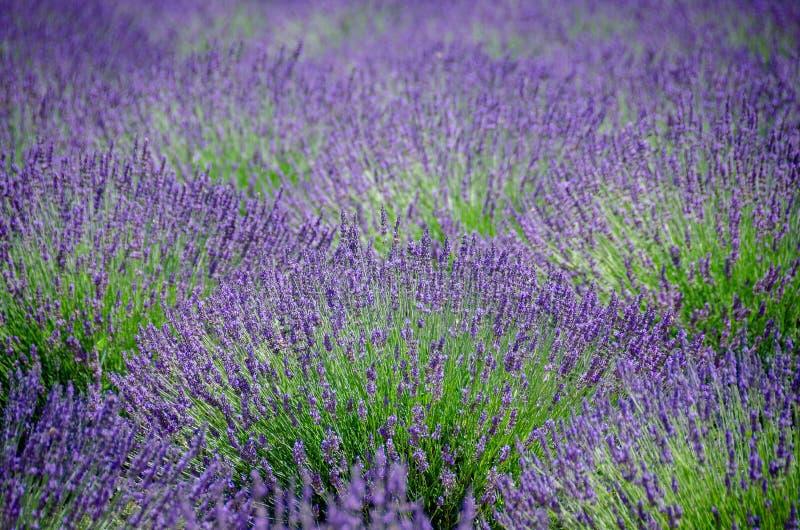 Lawendy pole w kwiacie z naturalnym naprzemianległym wzorem obraz stock