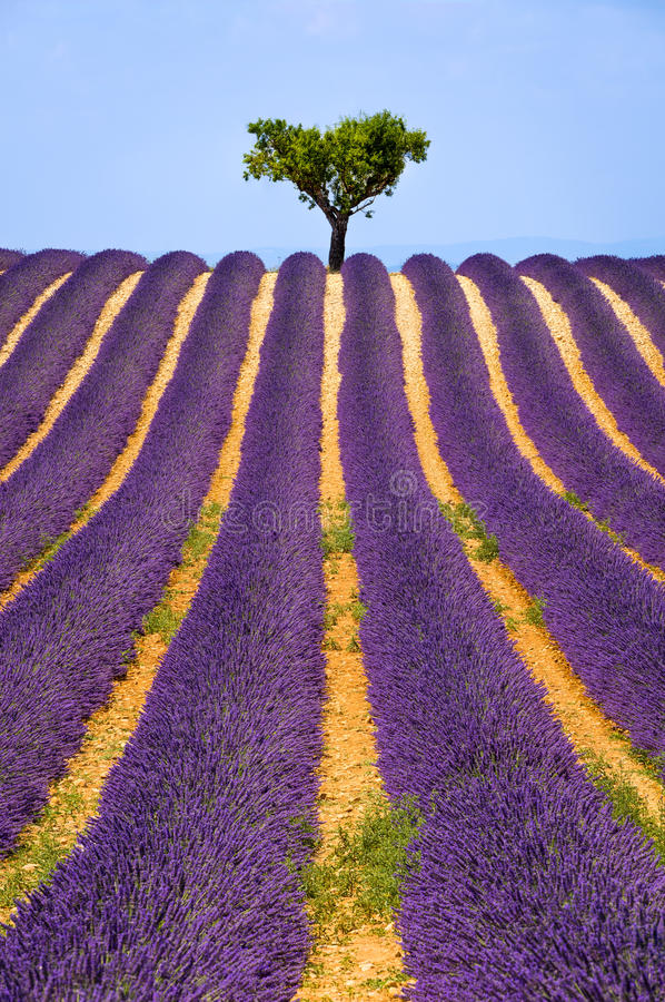 Lawendy pole w Valensole w lecie Provence, południe Francja obrazy royalty free