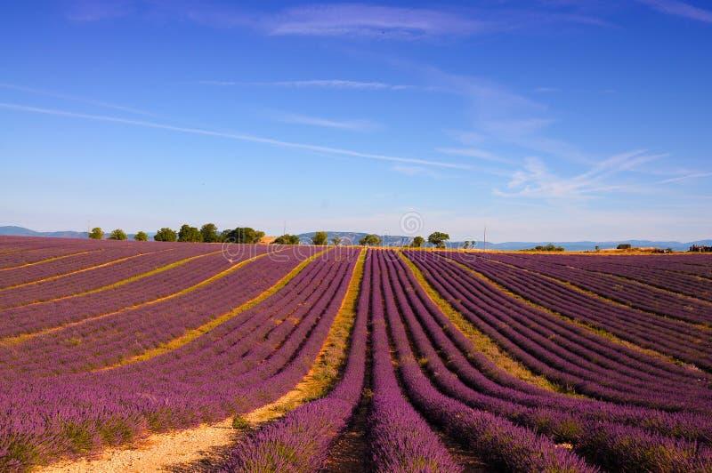 Lawendy pole z jaskrawymi purpurowymi kwiatami zdjęcie royalty free