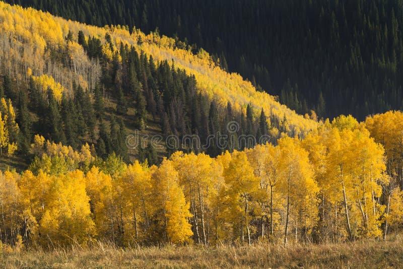 Lawina Kolorowej jesieni Złoci Osikowi drzewa W Vail Kolorado zdjęcia royalty free