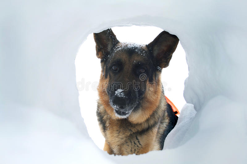 Lawinen-Rettungs-Hund findet einen Überlebenden lizenzfreie stockfotos