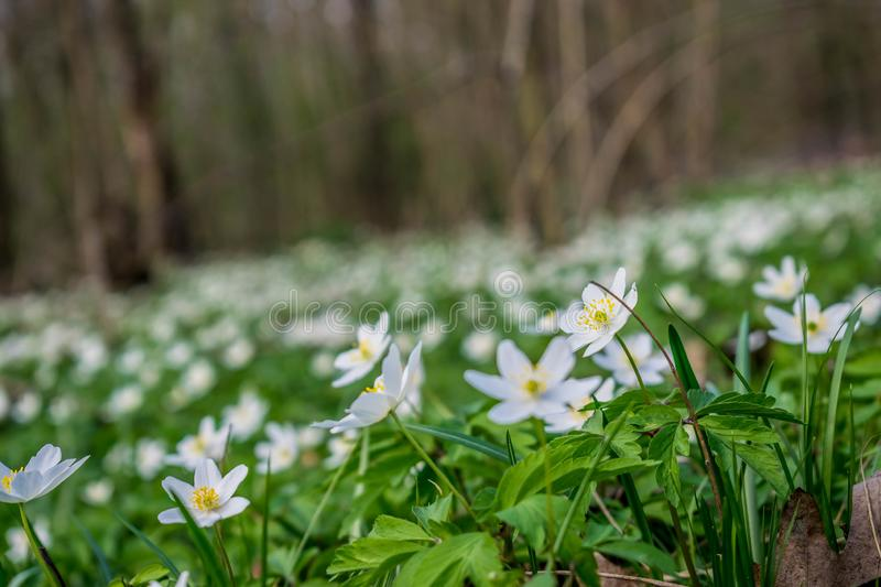 A lawn of anemone flowers. In spring forest. Beautiful white petals on the background of green leaves stock images