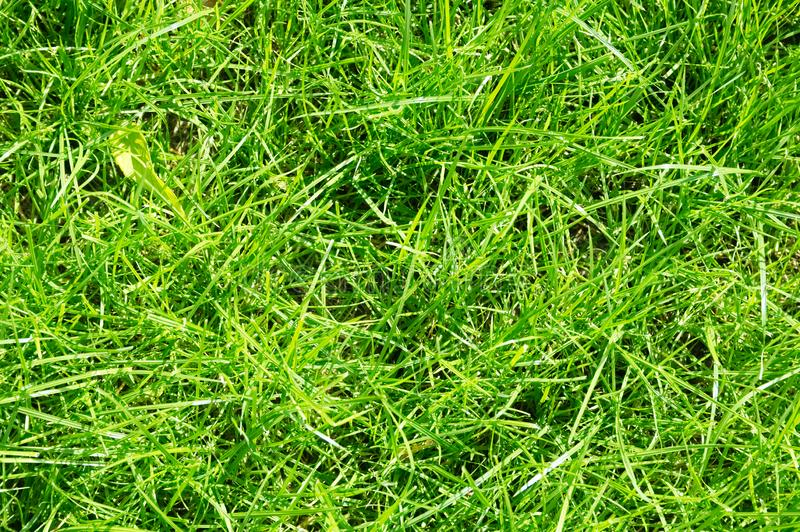 Lawn background. fresh green grass in garden. vividly bright green carpet outdoor. decorative plant for landscaping royalty free stock images