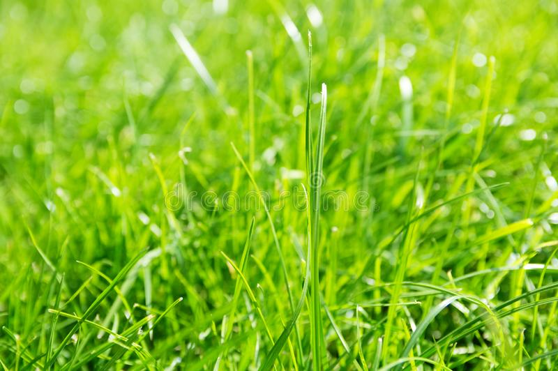 Lawn background. fresh green grass in garden. vividly bright green carpet outdoor. decorative plant for landscaping stock images