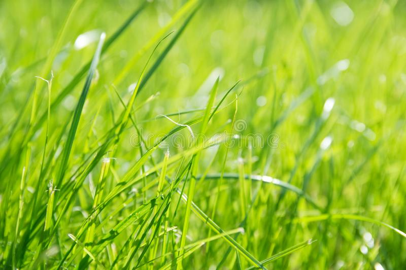 Lawn background. fresh green grass in garden. vividly bright green carpet outdoor. decorative plant for landscaping, playing, par stock images