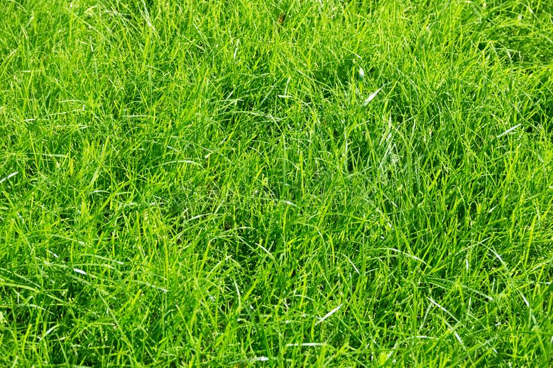 Lawn background. fresh green grass in garden. vividly bright green carpet outdoor. decorative plant royalty free stock images