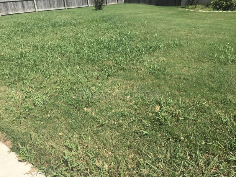 Crabgrass that has taken over a Lawn. A lawn of Bermuda grass that has been overtaken by Crabgrass weeds royalty free stock images