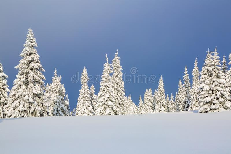 On the lawn covered with snow the nice trees are standing poured with snowflakes in frosty winter day. Christmas forest royalty free stock image