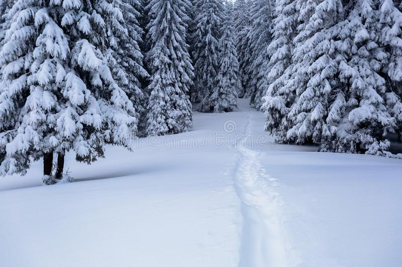 On the lawn covered with white snow there is a trampled path that lead to the dense forest. On the lawn covered with white snow there is a trampled path that stock photography
