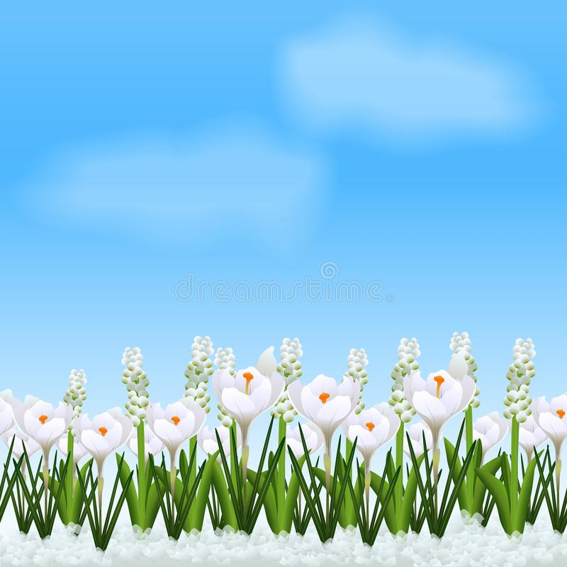 Lawn with flowers white crocuses. Lawn with flowers crocuses and grass on a blue background stock illustration