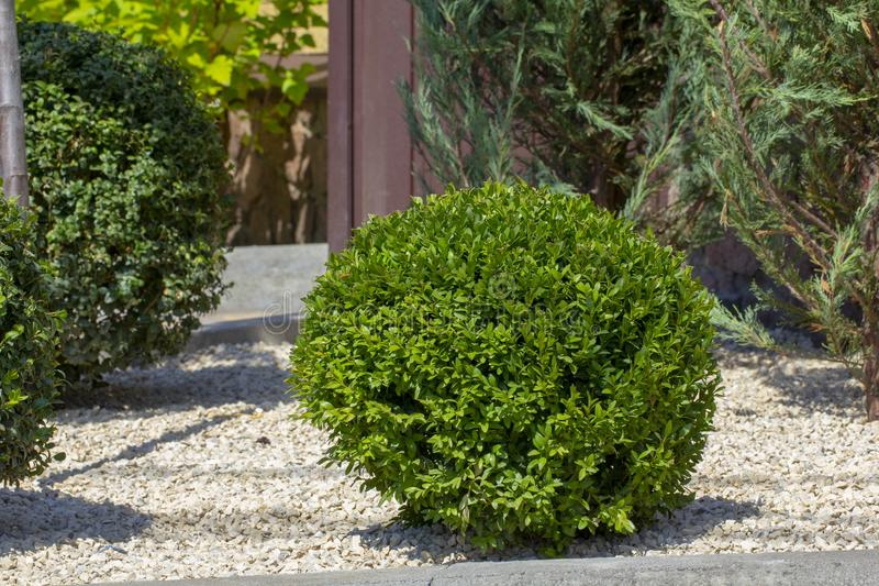 Lawn with plants. Boxwood, evergreen foliage plant royalty free stock photo
