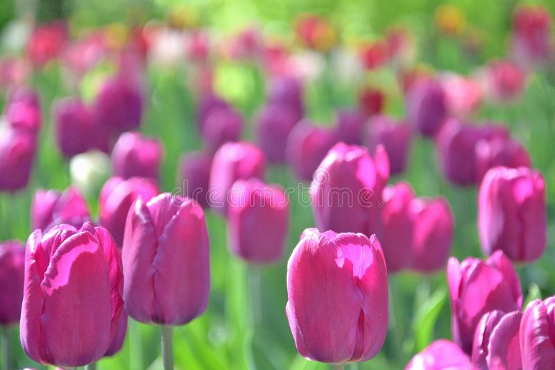 Lawn of purple pink tulips, close-up, on a sunny day stock images