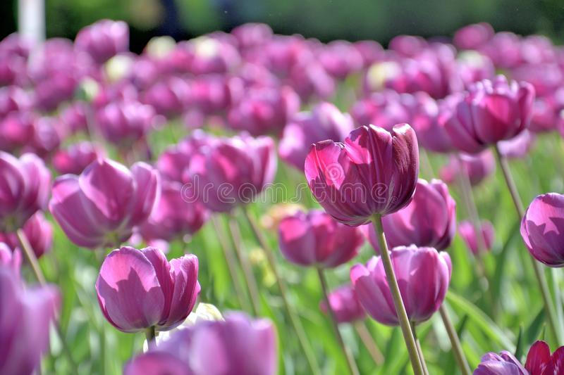Lawn of purple tulips, close-up, on a sunny day stock photo
