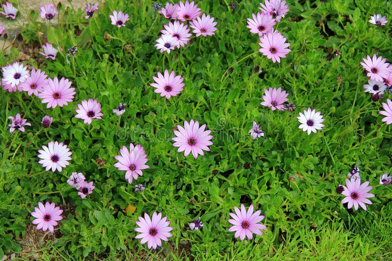 Lawn with spring flowers. royalty free stock image