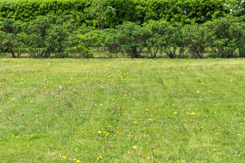 Lawn with the sprouted weeds dandelions. On a background high bushes royalty free stock images
