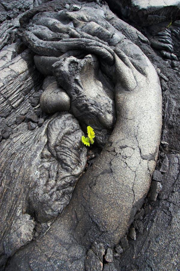 lawowy zamknięta lawowa roślina zdjęcie stock