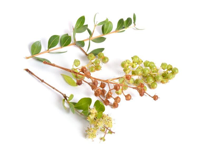 Lawsonia inermis、亦称hina或者无刺指甲花树或者mignonette树和埃及privet 查出 免版税库存图片