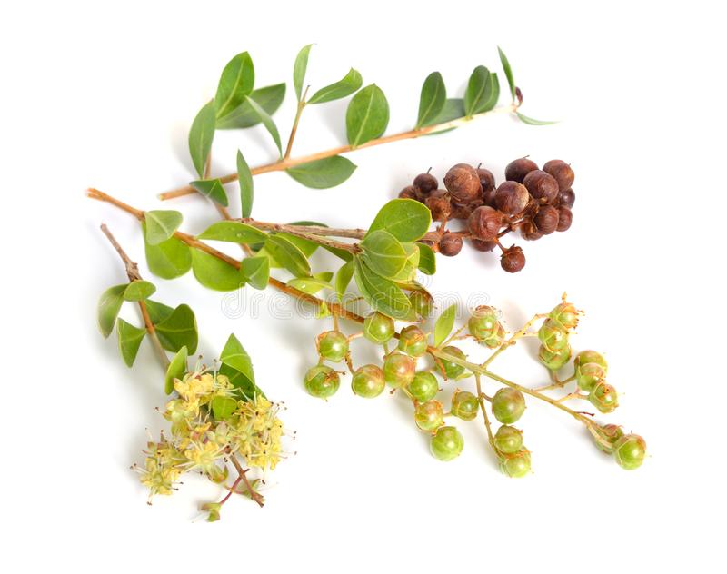 Lawsonia inermis, także znać jako drzewo i egipcjanina ligustr hina, henny mignonette lub drzewa lub odosobniony obrazy stock