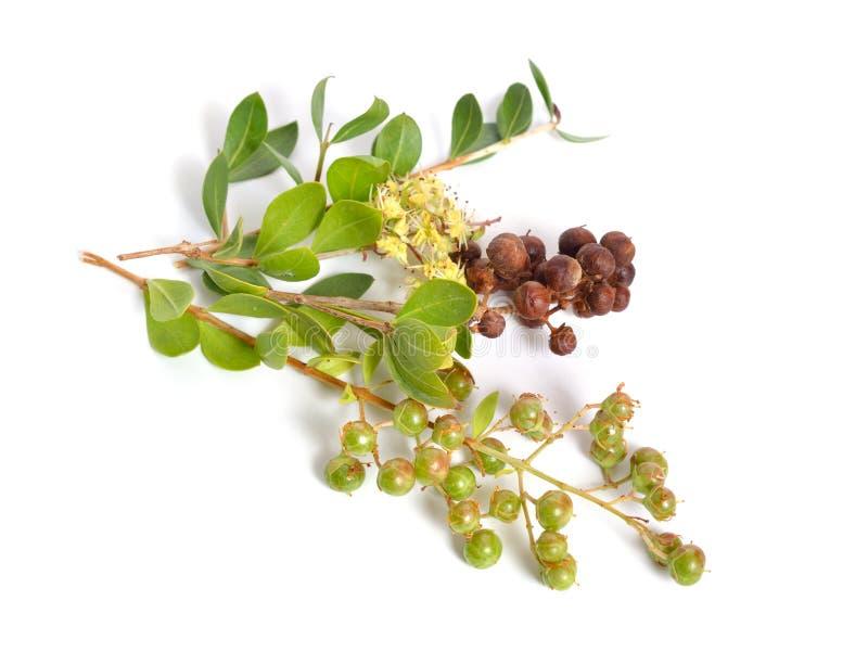 Lawsonia inermis, także znać jako drzewo i egipcjanina ligustr hina, henny mignonette lub drzewa lub odosobniony zdjęcie stock