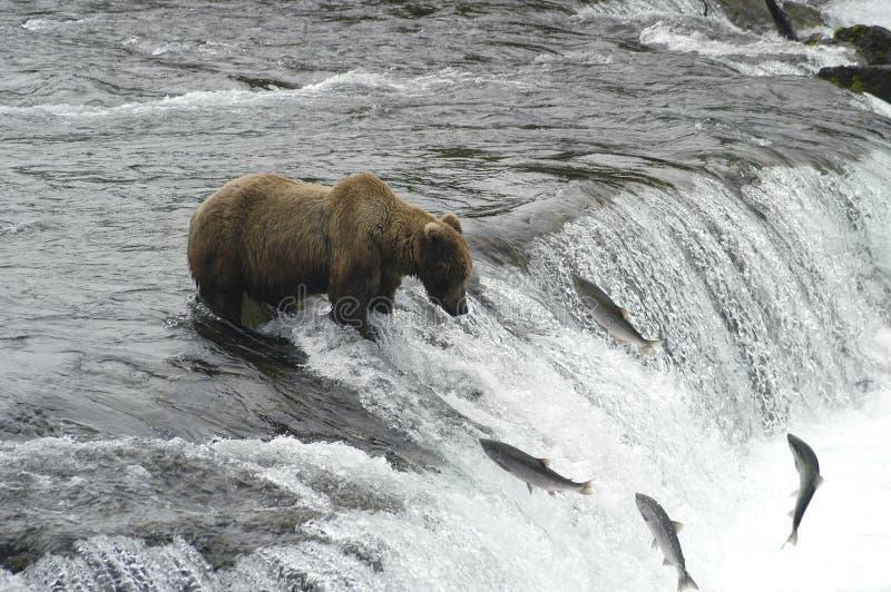 lax för björnbrownlås till att försöka royaltyfri bild