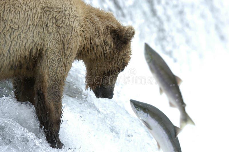 lax för björnbrownlås till att försöka royaltyfri foto