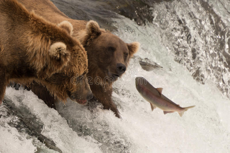 Laxen hoppar in mot två björnar på vattenfallet arkivbild
