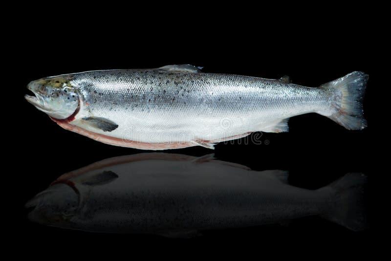 Laxfisk arkivbild
