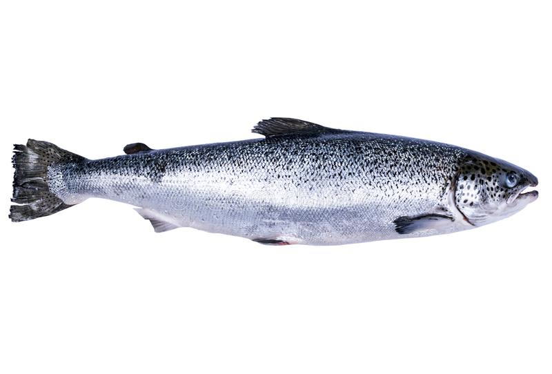 Laxfisk som isoleras på vit bakgrund Ny lös lax som isoleras på en vit Ny hel lax Tomt avstånd för text Kopieringssp fotografering för bildbyråer