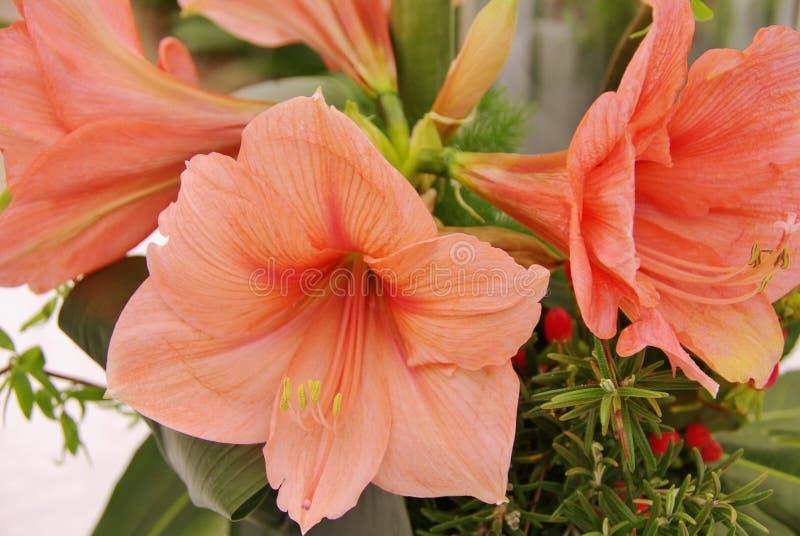 Laxrosa färgen Amaryllis blommar i ett växthus royaltyfri foto