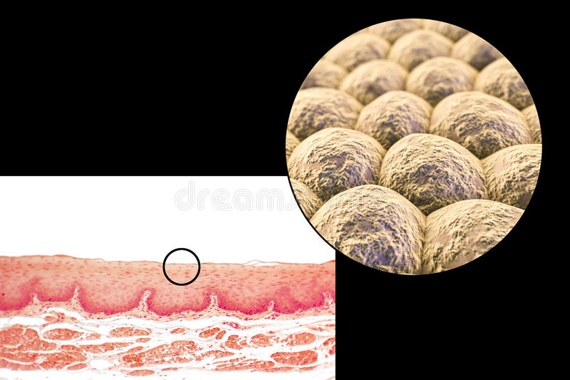 Layer of cells, light micrograph and illustration stock illustration