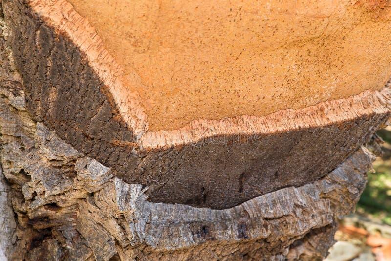 Layers with cork tree bark at tree trunk stock photo