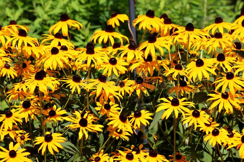 Layers of densely planted Black-eyed Susan or Rudbeckia hirta flowering plants with open bright yellow flowers with dark center. Layers of densely planted Black stock photography