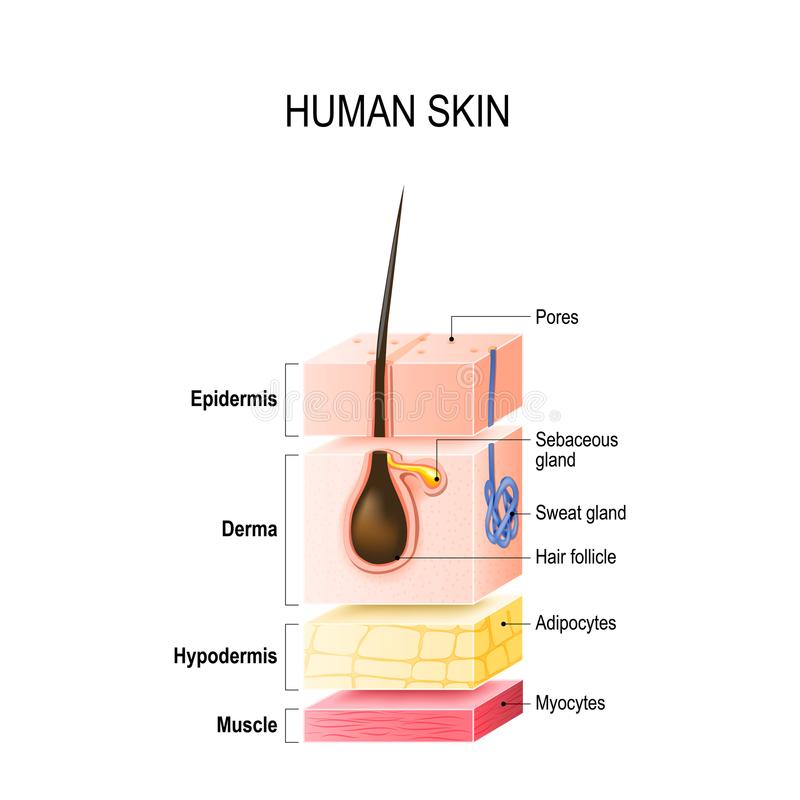 Layers of normal Human Skin. Layers of Healthy Human Skin with hair follicle, sweat and sebaceous glands. Epidermis, dermis, hypodermis and muscle tissue. Vector royalty free illustration