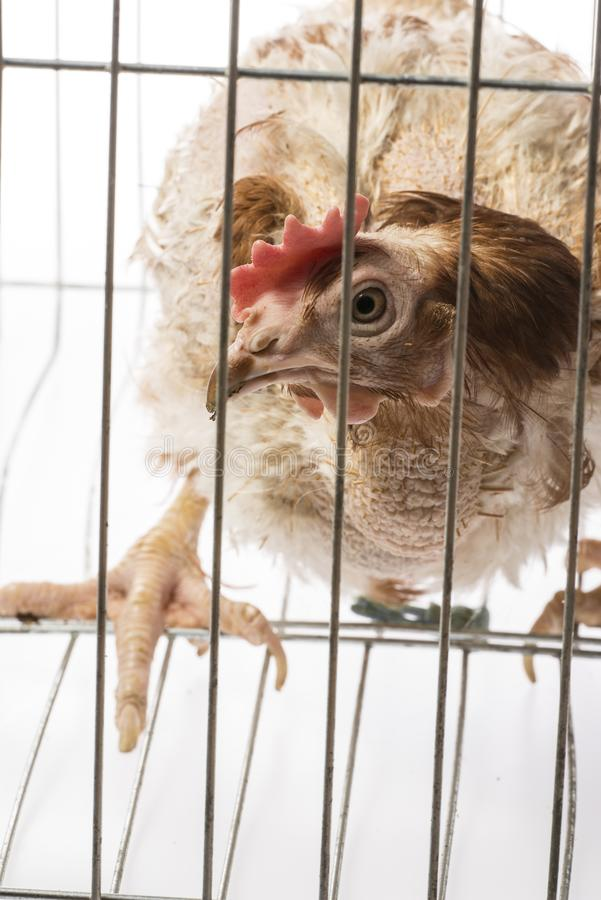 Layers - hen from intensive indoor farming. Animal protection concept royalty free stock photos