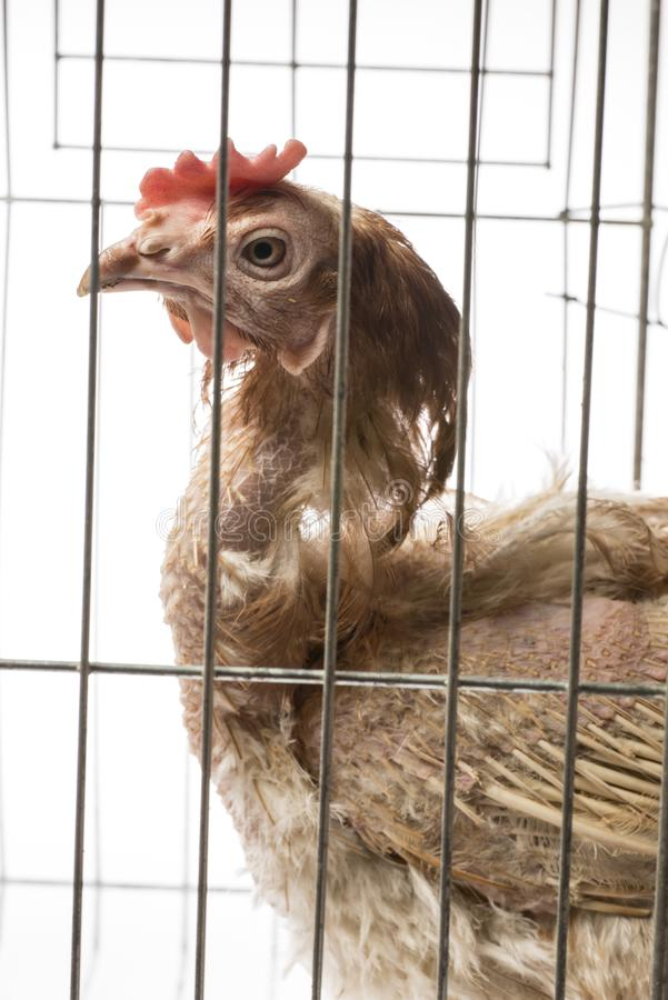Layers - hen from intensive indoor farming. Animal protection concept royalty free stock photo