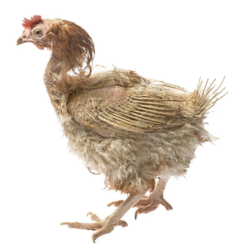 Layers - hen from intensive indoor farming. Animal protection concept royalty free stock photography