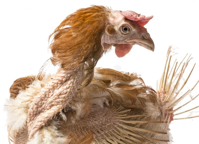 Layers - hen from intensive indoor farming. Animal protection concept stock image