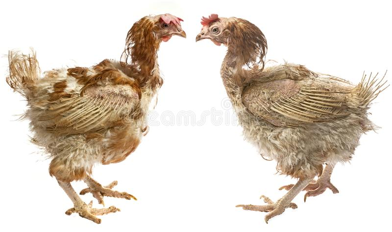 Layers - hens from intensive indoor farming. Layers - hen from intensive indoor farming - animal protection concept royalty free stock photography