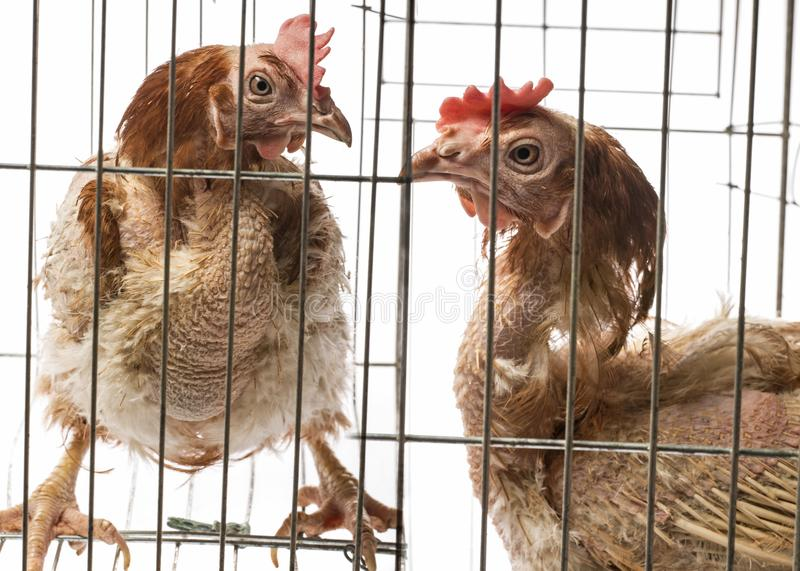 Layers - hens from intensive indoor farming. Layers - hen from intensive indoor farming - animal protection concept royalty free stock photos