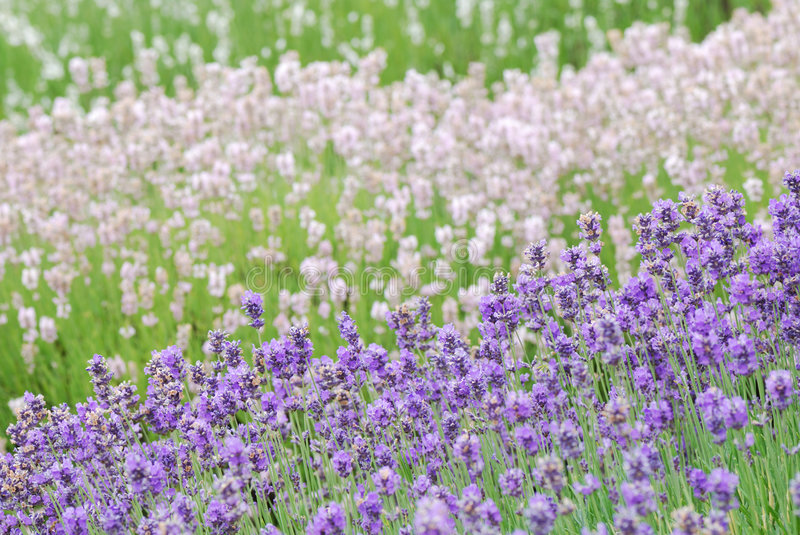 Layers of Lavender royalty free stock images