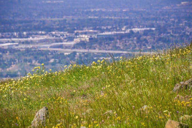 Layia platyglossa wildflowers powszechnie dzwonili nabrzeżnego tidytips dorośnięcie na wzgórzu; zamazany miasteczko w tle, Kalifo obraz royalty free