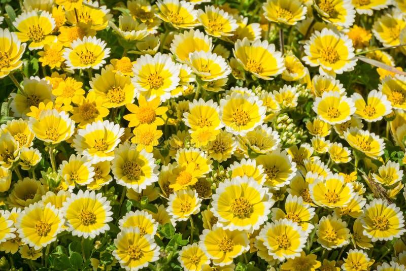 Layiaplatyglossavildblommor kallade gemensamt kust- tidytips som blommar på Stilla havetkusten, Mori Point, Pacifica, royaltyfri fotografi