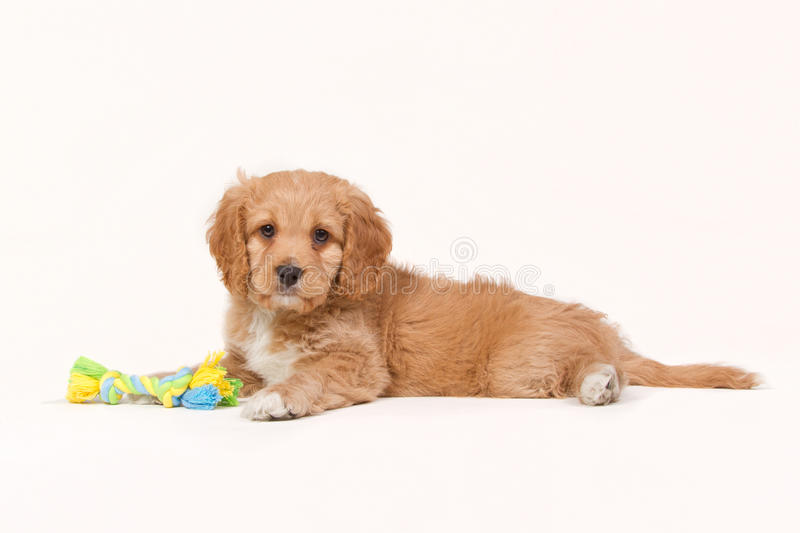 Laying apricot cavapoo puppy isolated on white stock image