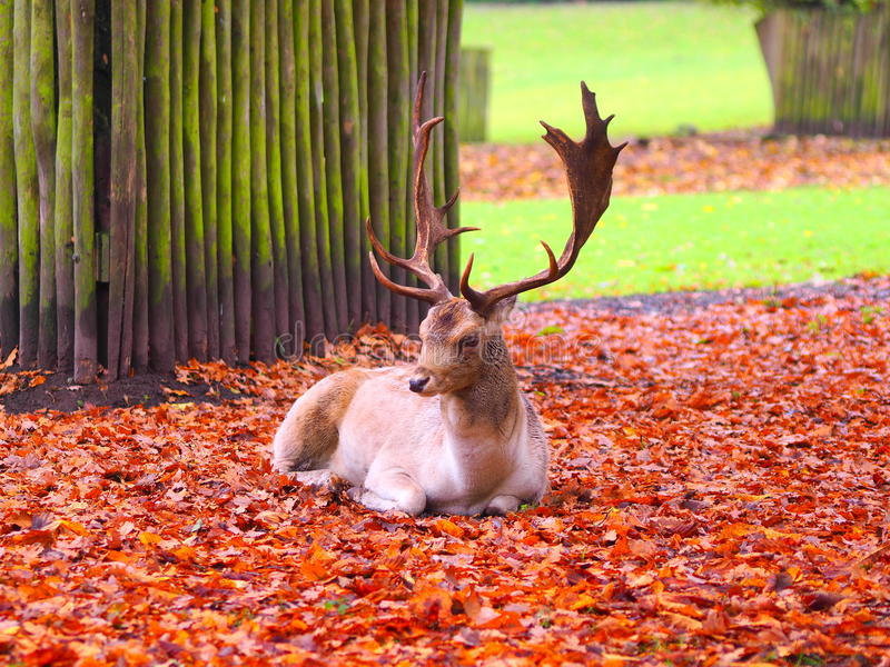 Laying buck with big antler. In the deer camp royalty free stock photo