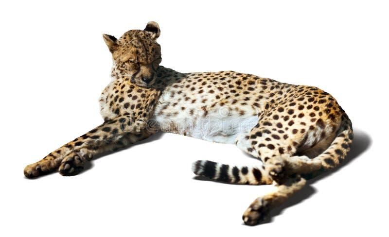 Laying Cheetah stock photography