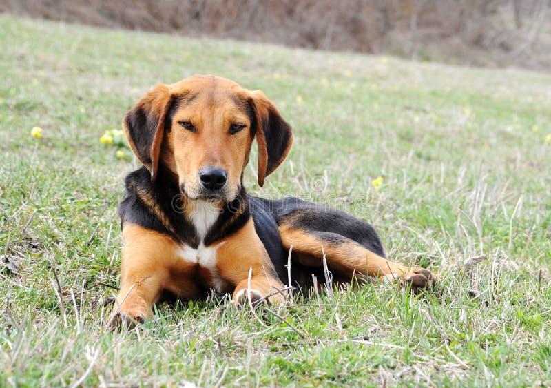 Laying cute dog stock photo