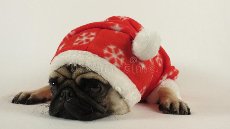 Laying pug with santa costume royalty free stock images